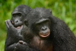 Lola ya Bonobo LO-4491