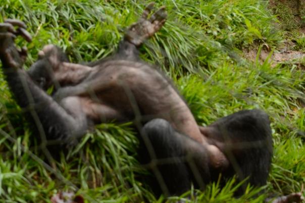 Lola ya Bonobo LO-4494