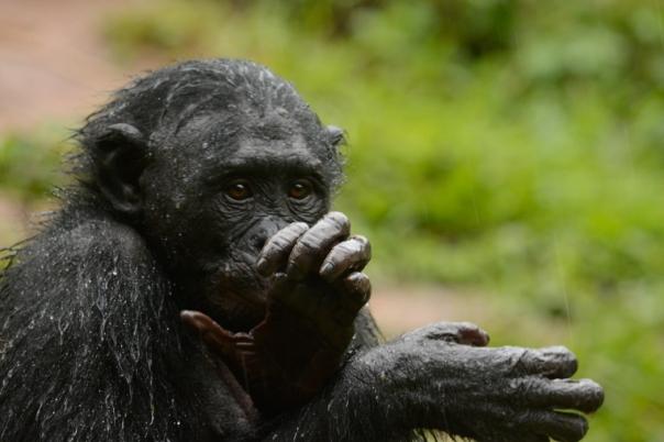 Lola ya Bonobo LO-4509
